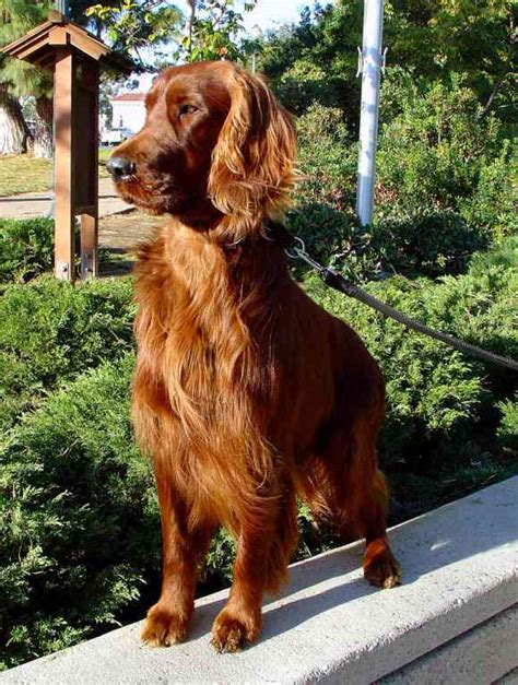 Irish Setter Dog | dogs images irish setter hd wallpaper and background
