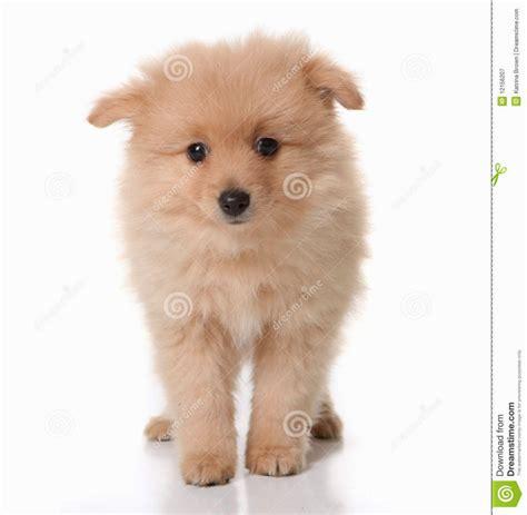 free pomeranian puppies in pomeranian puppies puppies puppy