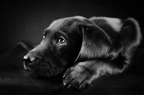 black and white dog wallpaper black and white dog wallpapers 45 wallpapers adorable