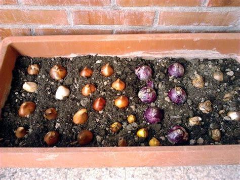 piantare tulipani in vaso piantare bulbi bulbi piantare bulbi per il giardino