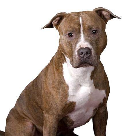 alimentazione amstaff american pit bull terrier pit bull scheda