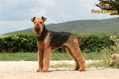 airedale dogs airedale terrier breed information buying advice photos and facts pets4homes