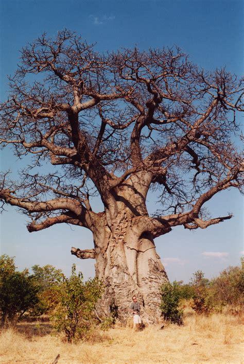 tree biography in english baobab simple english wikipedia the free encyclopedia