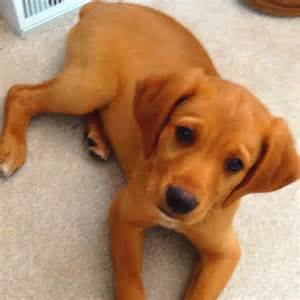 Golden Retriever Lab Boxer Mix Cutest Lil Things