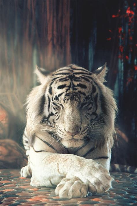 White Tiger L by 25 Best Ideas About White Tigers On Tigers