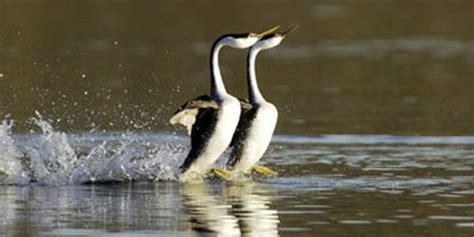 hewan berjalan  atas air cerita berita info