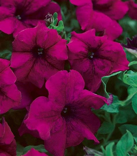 17 best images about petunias 2016 on pinterest