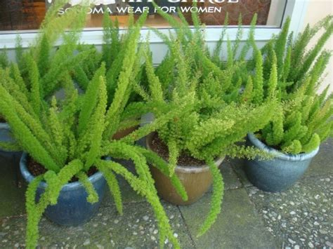 asparagus container gardening landscapes a collection of other ideas to try outdoor