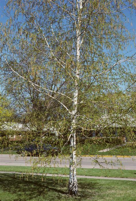 plantwerkz silver birch tree betula pendula