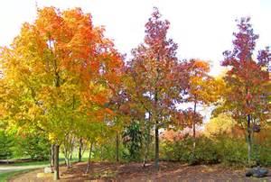 missouri maple trees image gallery mapletrees