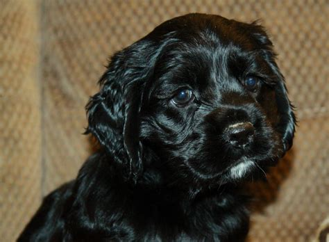 black cockapoo puppies cockapoo black puppy www pixshark images galleries with a bite