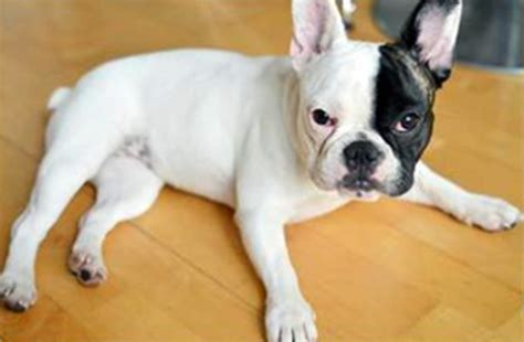 bulldog tattoo edmonton french bulldog nabbed from b c tattoo parlour reunited