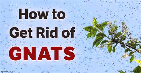how do i get rid of gnats in my house how to get rid of gnats