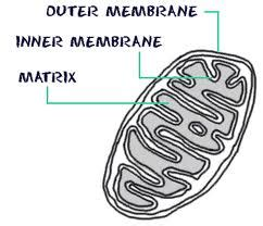 simple diagram of mitochondria mitochondria diseases 101