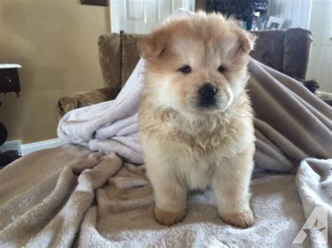 puppies for sale in youngstown ohio chow chow puppies 8 weeks for sale in youngstown ohio classified