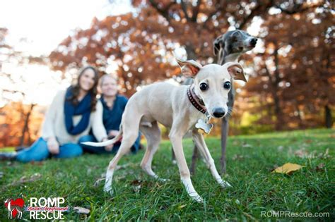 greyhound puppies for adoption italian greyhound rescue location breeds picture