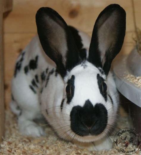 aggressive rescue aggressive rabbits cottontails rabbit guinea pig rescuecottontails rabbit guinea