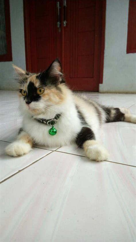 Sho Kucing Dan Harga cara memandikan kucing di rumah sendiri binatang peliharaan