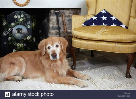 golden retriever loyalty loyal golden retriever with deceased veteran american