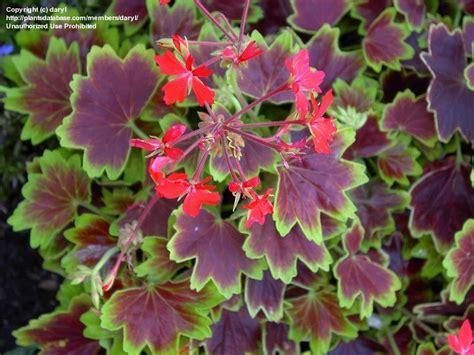 plantfiles pictures fish geranium horseshoe geranium