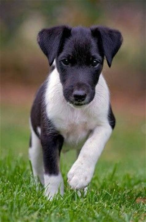 smooth fox terrier puppies smooth fox terrier i a serious soft spot for these guys you can thank tux for