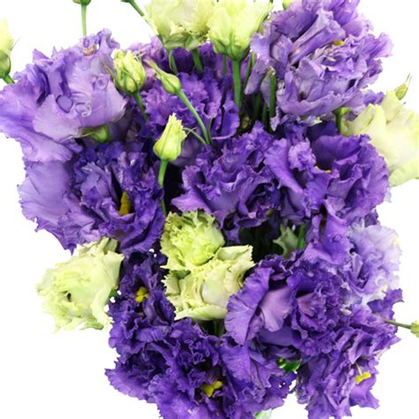 hues of purple hues of purple frill lisianthus flower for october to may