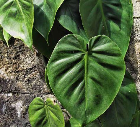 Tanaman Daun Cemara Golden Malaika macam macam tanaman hias dan gambarnya belajar berkebun