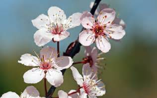 blossom cherry picture cherry blossoms wallpaper 71922
