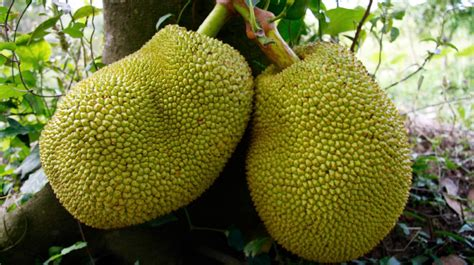 jackfruit images here s the scoop on jackfruit a ginormous fruit to feed