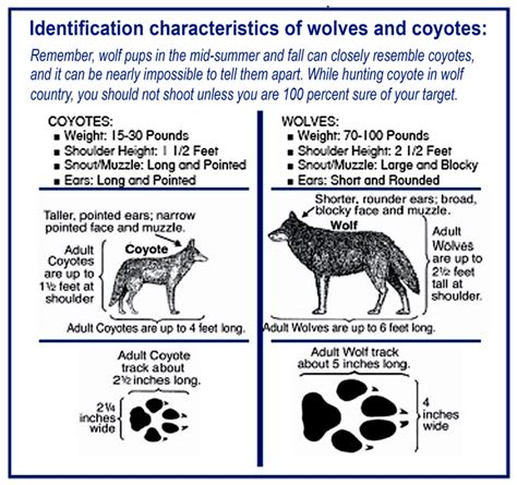 difference between wolves and dogs manotick directory coyote information