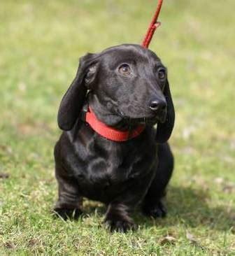 dachshund puppies idaho dachshund breeder located in idaho mgm miniature dachshunds sold puppies