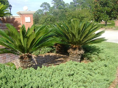sago palm for sale buy king sago palm tree for sale in orlando kissimmee
