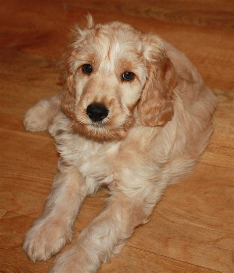 cockapoo puppy for sale buff chagne cockapoo puppy for sale keighley west pets4homes