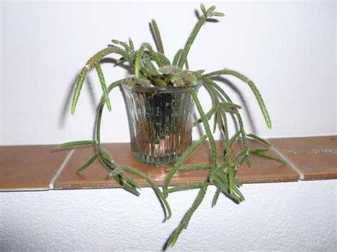 kaktus zimmerpflanze zimmerpflanze au 223 ergew 246 hnlich kaktus 228 hnlich imposant top