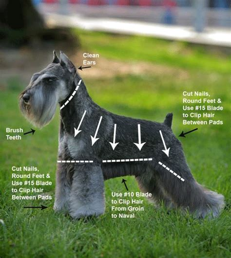 schnauzer hair cut step by step how to trim a schnauzer step by step grooming guide