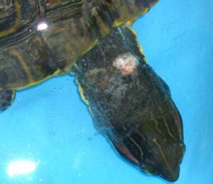 Turtle Neck Basic White M9140 turt dis f