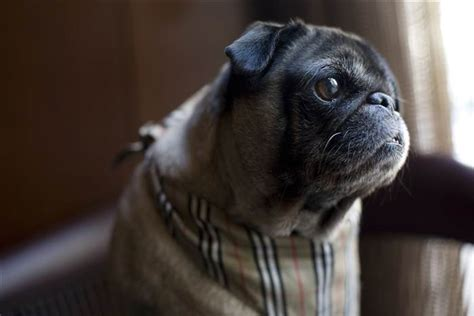 pug bladder infection one eyed pug finds furever hotel home at park hyatt chicago today