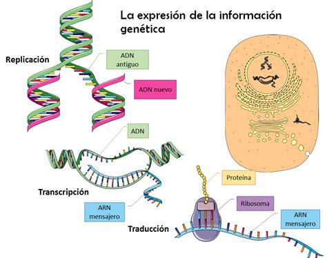 humanos con 3 cadenas de adn b log ia 2 0 el adn la mol 233 cula de la herencia