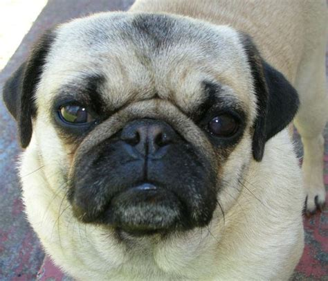 facts about pug dogs facts about pugs and pug puppies infobarrel