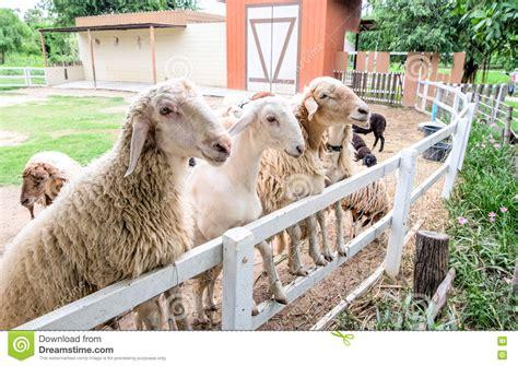 alimentazione pecore alimentazione aspettante delle pecore in recinto immagine