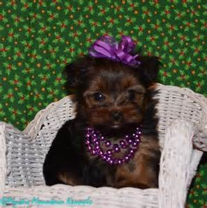 tennessee yorkie breeders puppies for sale teacup tiny yorkies imperial shih tzu tennessee puppies