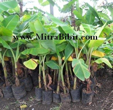 Bibit Pisang cv mitra bibit bibit pisang