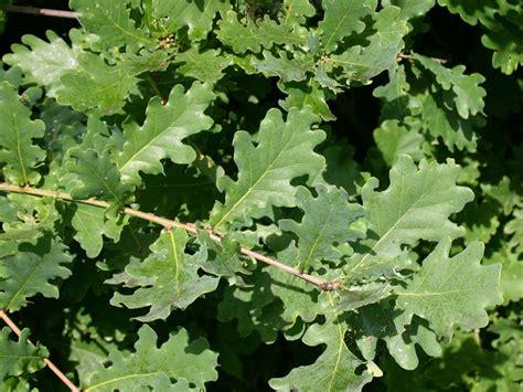 Eiche Bilder by Deutsche Eiche Oak Quercus Robur Baumschule Horstmann