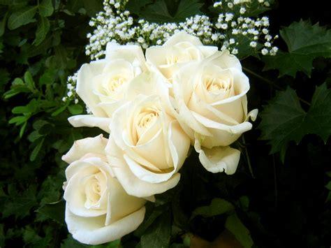 wallpaper flower white rose love flowers wallpapers white roses flowers wallpapers