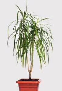 dracaena marginata entretien engrais arrosage maladies