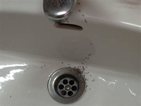 ants bathroom these were the ants in my hotel room bathroom sink