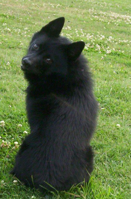 schipperke dogs dachshund breed information breeds picture