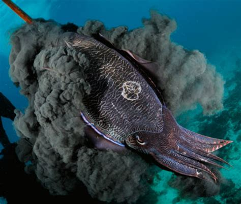 Physiological Adaptations - Cuttlefish Info