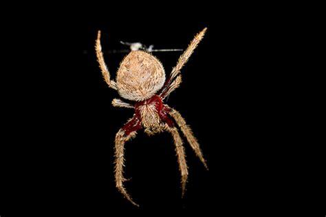 Garden Orb Spider Australia Ag Reader Photo Orb Spider Australian Geographic