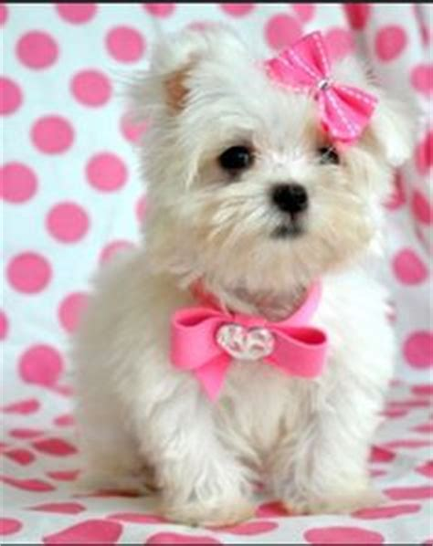 bows for yorkies hair teacup yorkie hair bows breeds picture